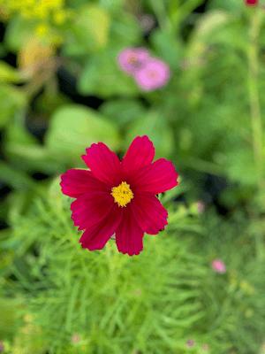 Hình 11: Hình bông hoa với chức năng Portrait trên iPhone